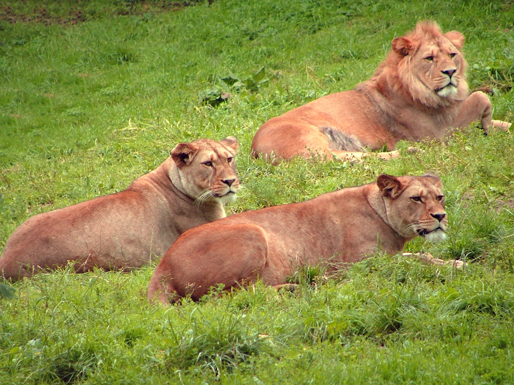 Humans are still pushing African lions out of their natural habitats